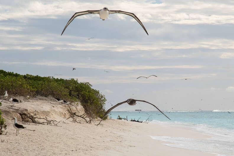 Black-footed albatrosses flying in Hawaii