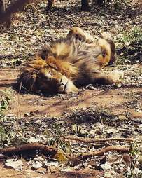 simba lion rescued from circus taking a nap