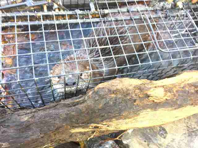 river otter in trap