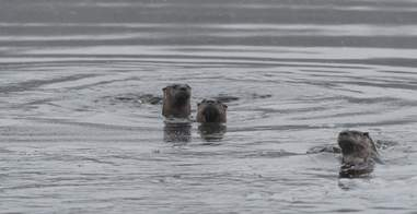 River otters in the water