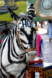 tijuana zebra