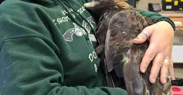 Woman hugs golden eagle who was caught in a hunter's trap