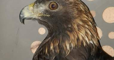 Golden eagle rescued from trap at rehabilitation center
