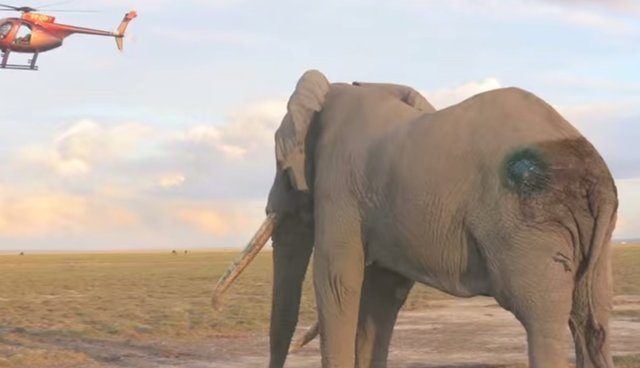 One Of Africa's Oldest Elephants Rescued After Poaching