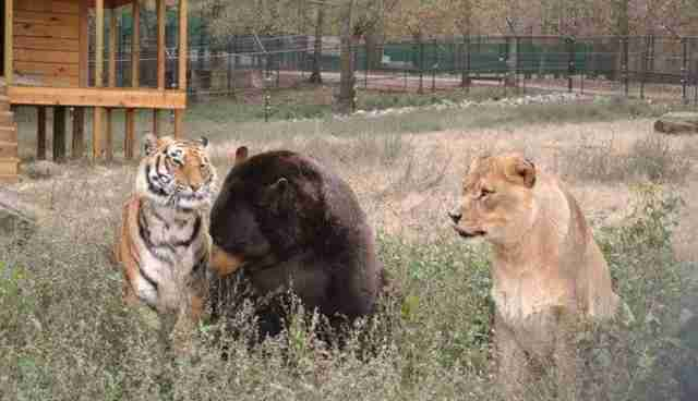 Lion Tiger And Bear Oh My Are All RealLife Best Friends The - Lion tiger bear best friends