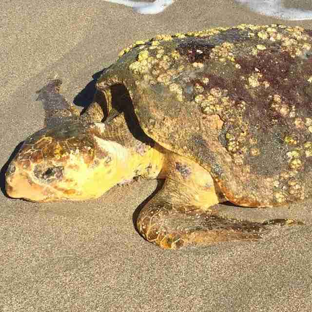 Sick, dehydrated sea turtle washed up on Florida beach