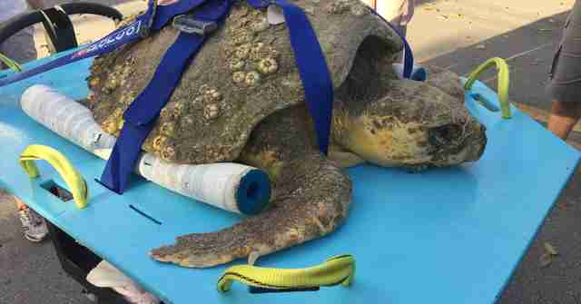 Sick sea turtle being rescued from beach