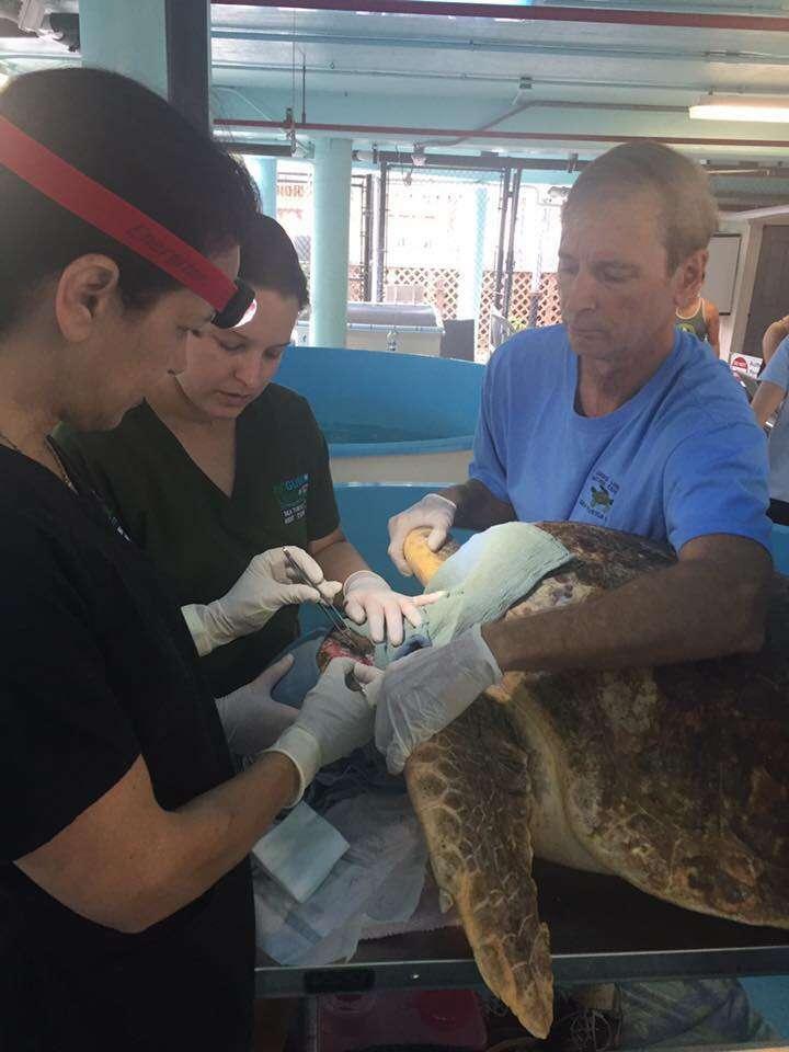 Injured sea turtle gets stitches