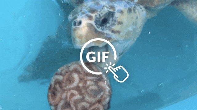Rescued sea turtle eating shrimp popsicle