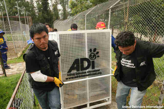 Animal Defenders International team transporting an animal