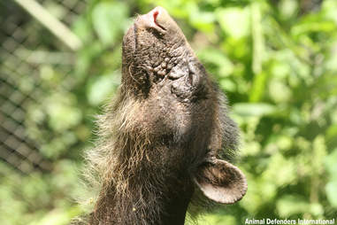 Spectacled bear in her new enclosure in the Amazon
