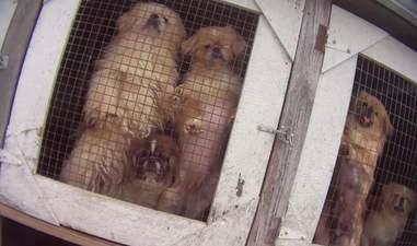 Massive puppy breeder licensed by the USDA