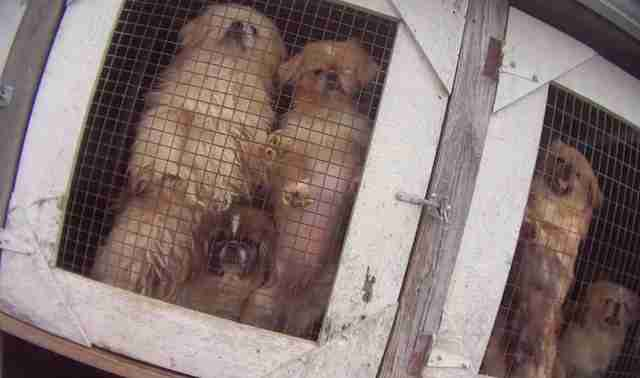 Massive puppy breeder licensed by the USDA