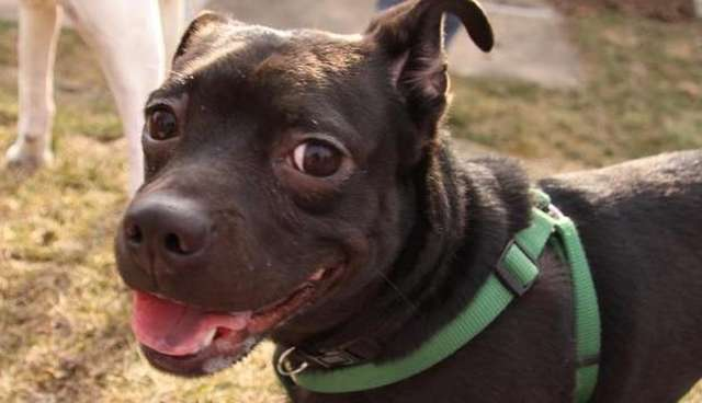 12 Pit Bull Mixes Who Are Just As Ridiculously Cute As Rami The Dodo
