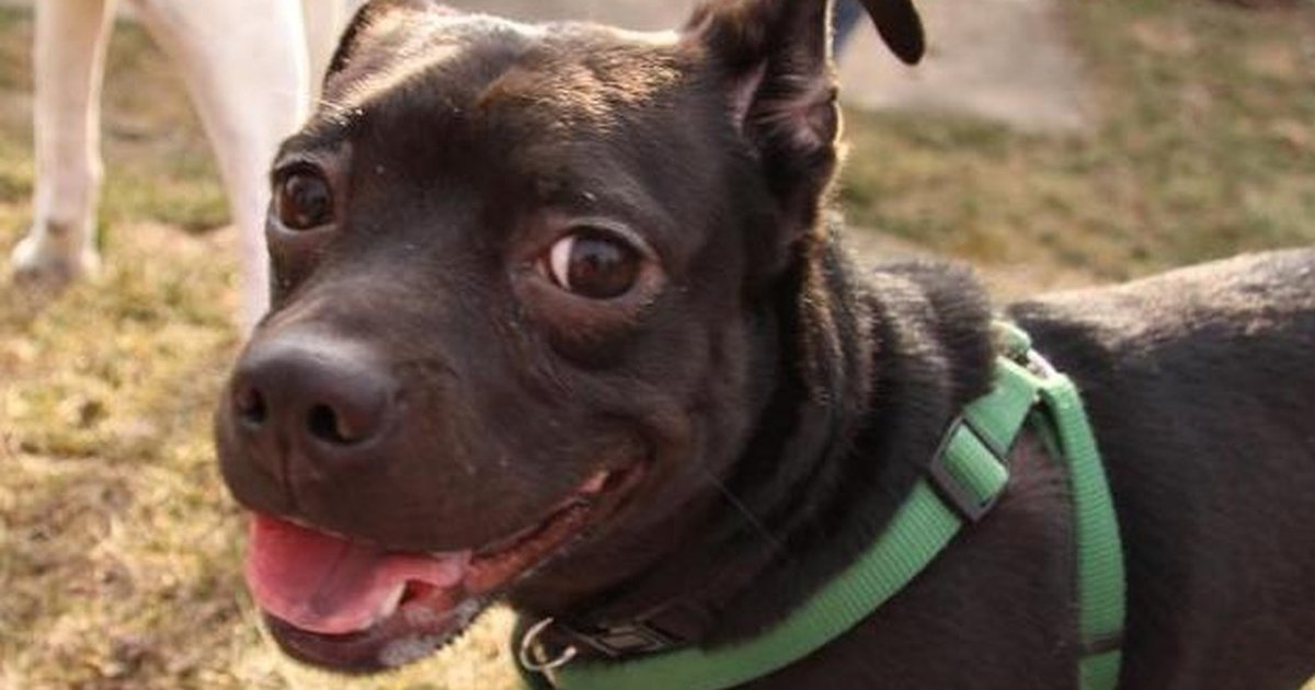 Brown Pitbull Dog