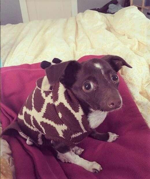 Cletus the dog wearing sweater