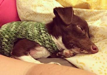 Cletus the dog sleeping in sweater