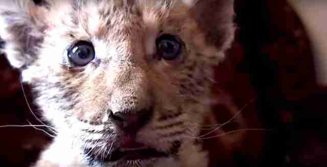 """liger"" born at Russian zoo will likely have health problems"
