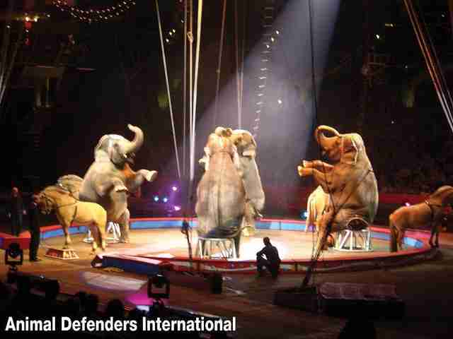 Wild animals being used in a circus
