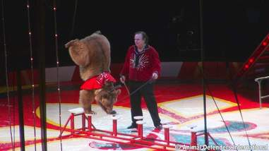 Wild bear being used in a circus