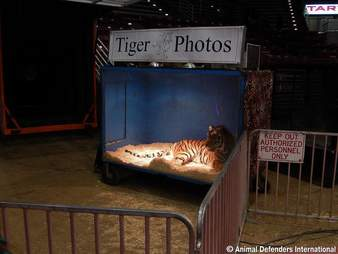 Wild tiger being used in a circus
