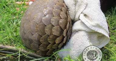 Rescued pangolin clinging to towel