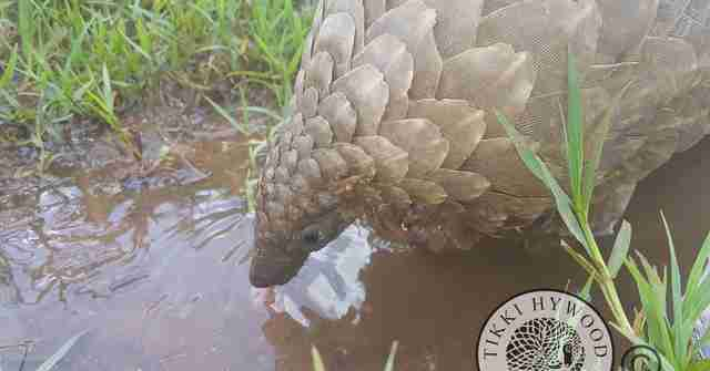 Pangolin seized from wildlife traffickers