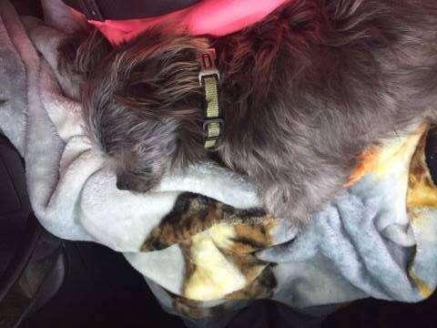Dog asleep in the car