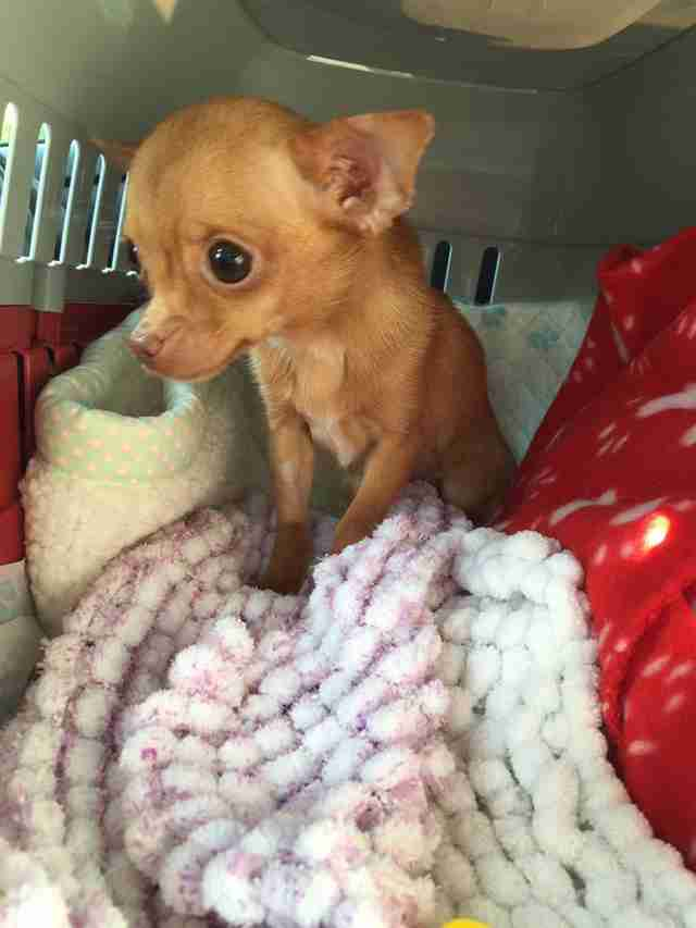 Chihuahua teacup dog rescued from puppy mill