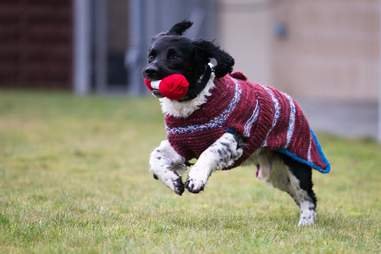 Dark colored dogs get sweaters