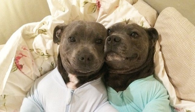 pit bull photos that prove they re the snuggliest silliest coolest