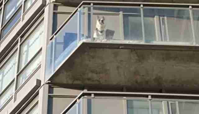 A Balcony Is No Place To Leave Your Dog The Dodo