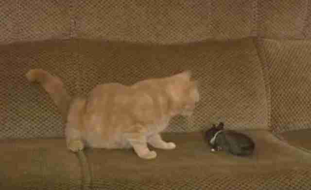 Cat Finds Baby Rabbit On The Sofa And Decides To Keep Her
