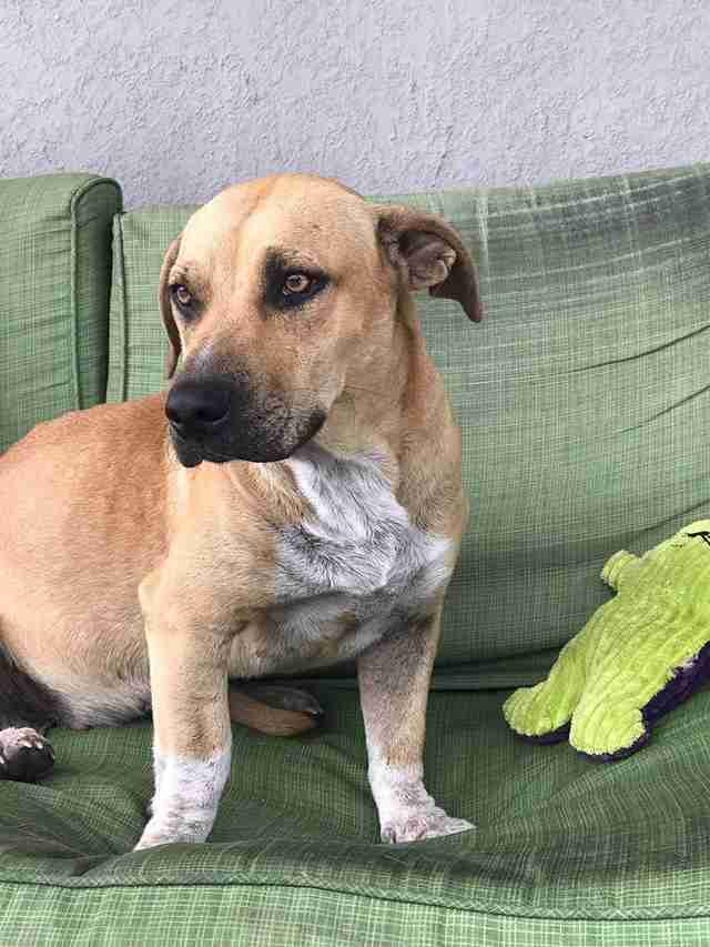 Harper, a dog rescued from Redland, Florida, enjoying life in foster care