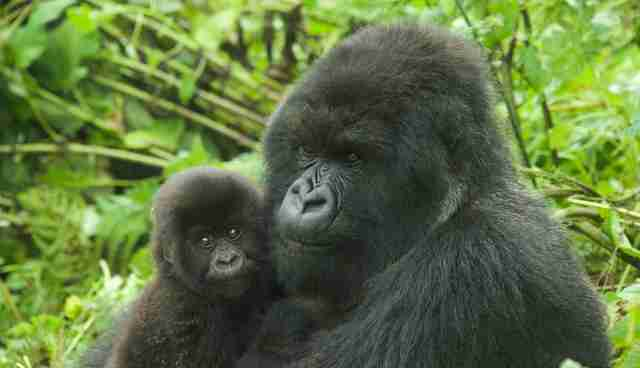 24 Of The Cutest Baby Gorillas You Ve Ever Seen The Dodo