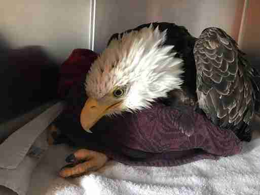 Bald eagle paralyzed because of lead poisoning