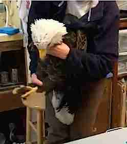 Bald eagle with lead poisoning held by rehabilitator