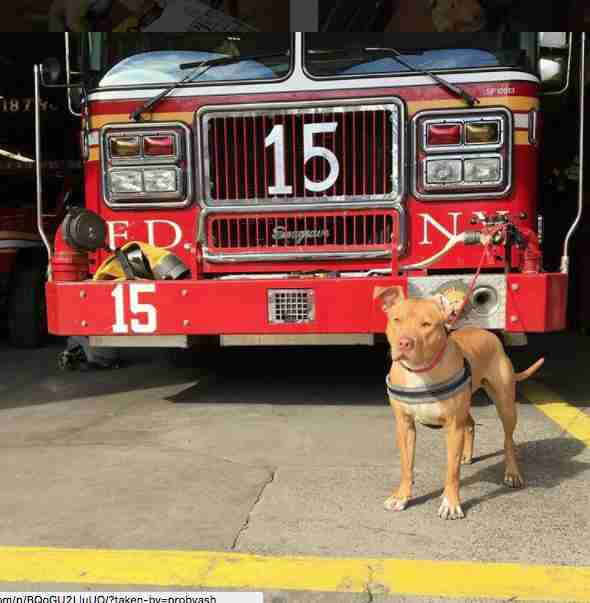 Ashley the pit bull at the fire station