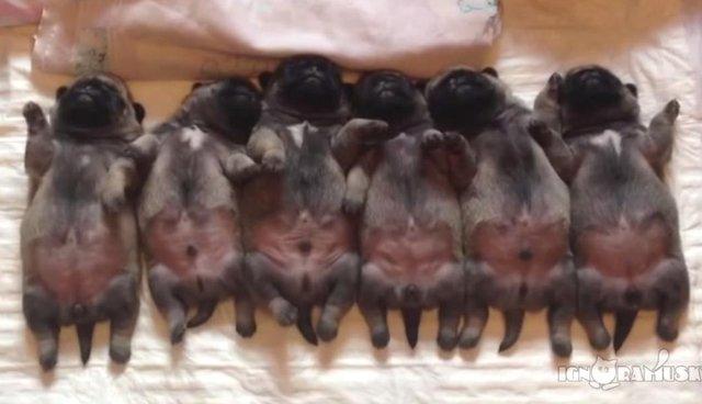 6 Sleepy Pugs Wiggle Their Way Through Cutest Slumber Party Ever