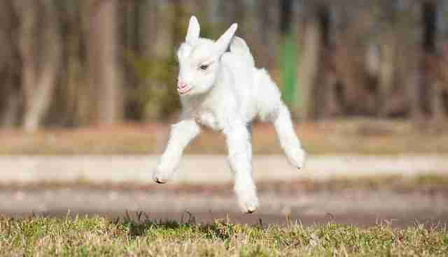 Bouncy Baby Goats Captured At The Perfect Mid Air Moment