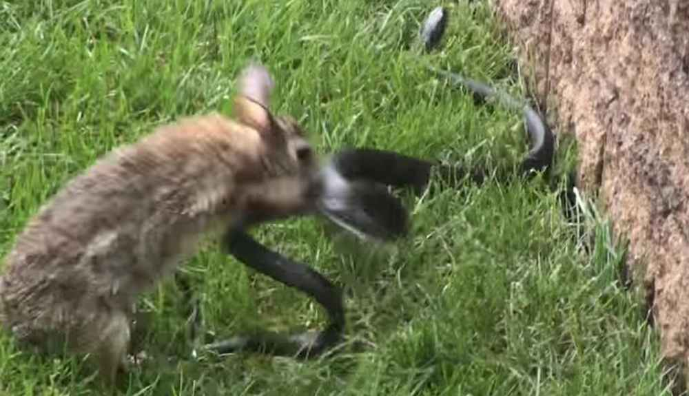 Mother Rabbit Goes After Snake Who Attacked Her Babies The Dodo