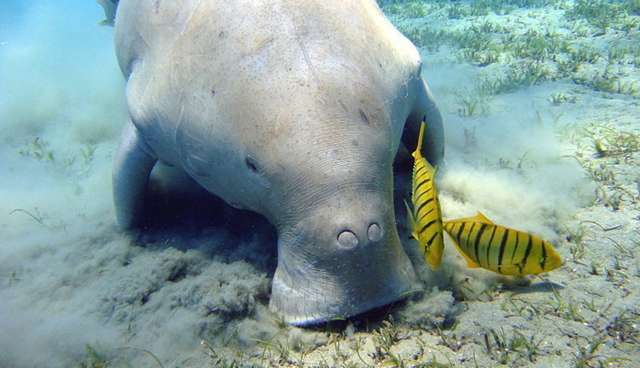 This Very Special Sea Cow Species Has Nostrils On His Head And Is