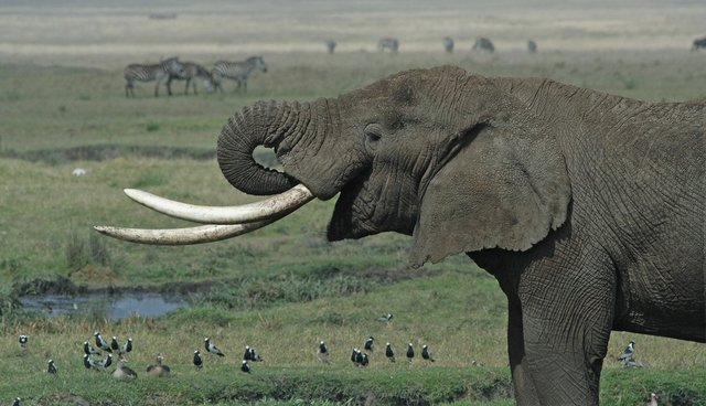 e6c2f4e58 NRA Comes Out Against Ivory Ban -- And Elephants - The Dodo