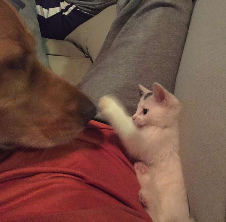 Kitten swiping the nose of her dog friend