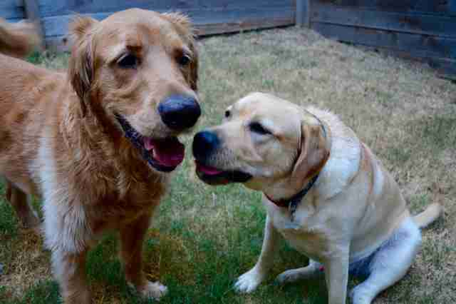 Brady the golden retriever having a play date with his dog friend