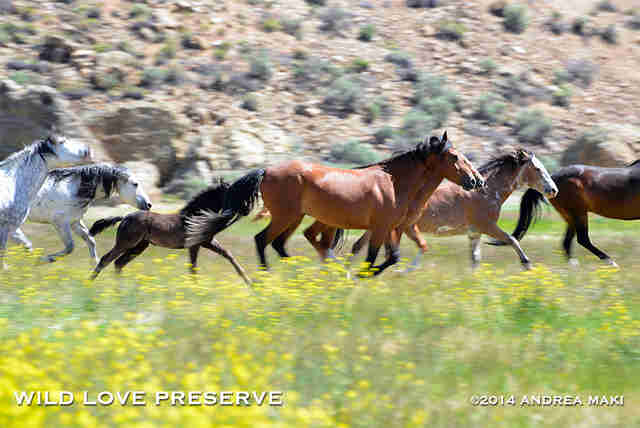 Wild Challis Horses Saved To Run Free