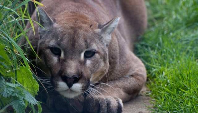 Big Cats Aren't The Natural Born Killers We Think They Are