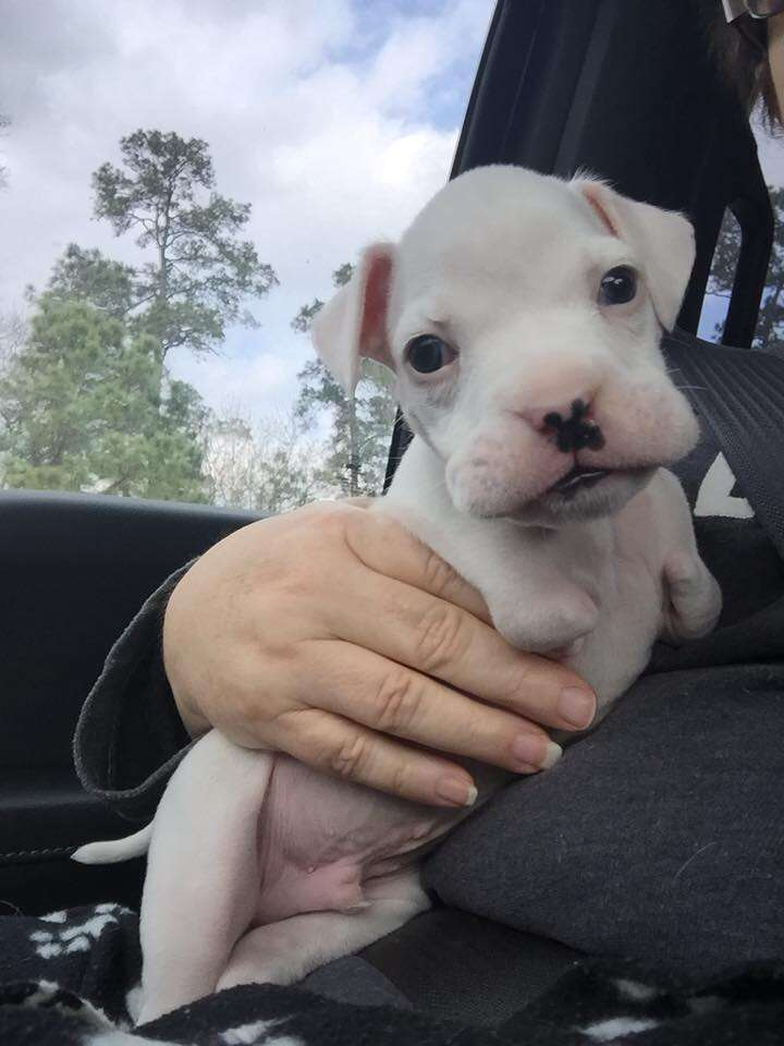 nubby, a puppy born without his front legs, with foster dad