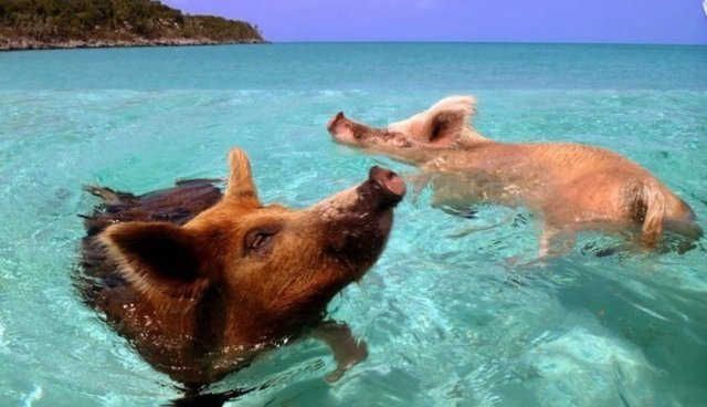There Exists A Glorious Island Where Pigs And Humans Swim Together In Harmony