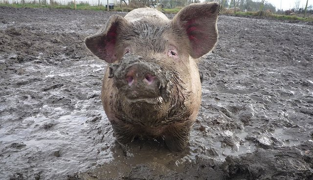 Pig Poop Carrying E. Coli Is Leaching Into Rivers From Factory Farms ... b46c4cf44930